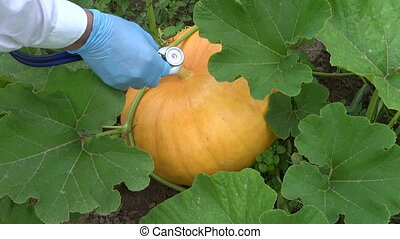 looking pumpkin health condition - agronomist farmer with...