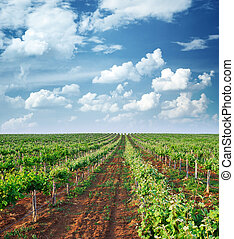 Vineyard rows Composition of nature