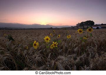 revive - wheat field in pero pinheiro , Sintra