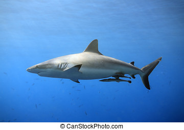 Grey Reef Shark - a grey reef, or whaler shark swimming in...