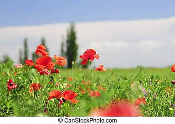 red poppy flowers field