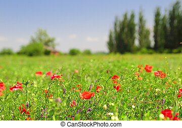 red poppy flowers field on the blue sky background