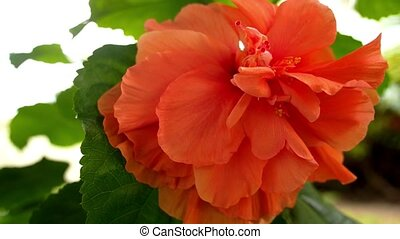 Closeup of Beautiful Orange Flower in Garden - Closeup of...
