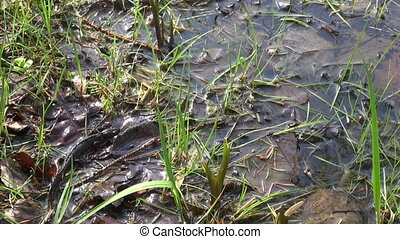 Great Crested Newt (Triturus) - Great Crested Newt (Triturus...