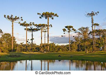 Araucaria, angustifolia, -, Gramado, -, brasil