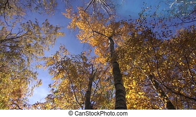 autumn wind in aspen forest