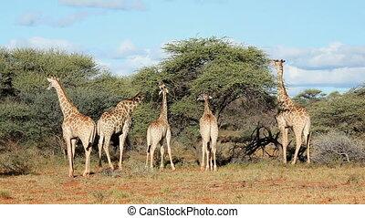 Feeding giraffes 12 - Giraffes Giraffa camelopardalis...