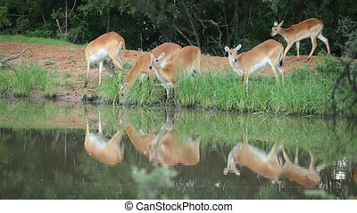 Red lechwe antelopes (Kobus leche) feeding and drinking at a...