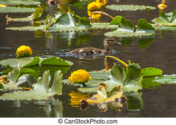 little brown baby duck water lilly in Cub Lake Rocky - Baby...