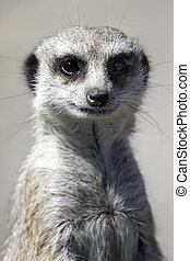 Meercat - Close up of a meercat on watching for predators