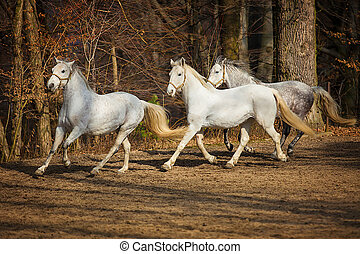 Lipizzan horses running - Three white Lipizzan horse runs...