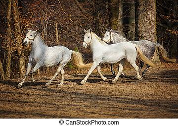 Lipizzan horses running - Three white Lipizzan horse runs...
