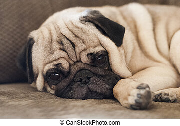 Cute pug dog lying resting on the floor keeping a watchful...