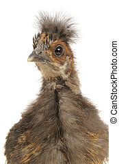 Cute Chinese Silkie Baby Chicken Cl - A close-up of a cute...