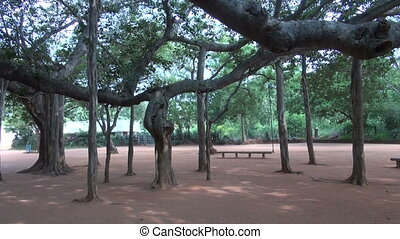 Big Banyan Tree in Auroville,India - Big Banyan Tree in...