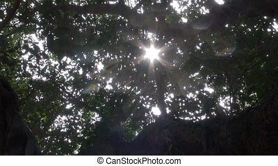 banyan tree leaves u2013 Auroville, - sunlight and camera...
