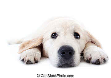 Young golden retriever lying with stretched paws - Young...