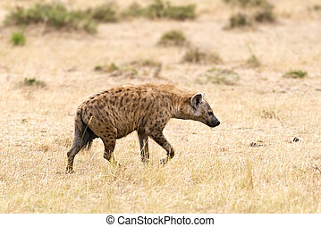 hyena - Spotted Hyena Crocuta crocuta - walk at savanna...