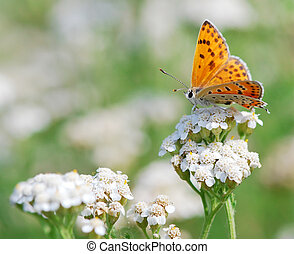 Butterfly Scarce Copper on a summer meadow