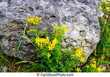 Spotted St. Johns Wort - Yellow Spotted St. Johns Wort in...