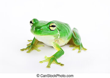 Little green tree-frog on white background - Little...