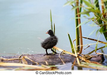 Coot (Fulica) nestling on a lake in summer