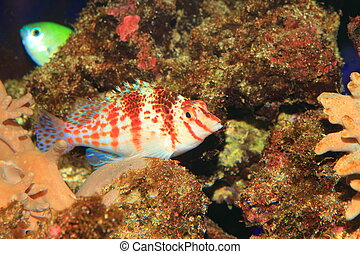Falco Hawkfish (Cirrhitichthys falco) in Japan