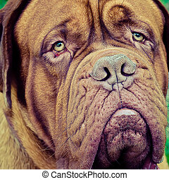 french mastiff head closeup outdoors