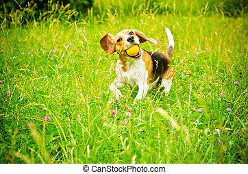 beagle dog on a green grass outdoors