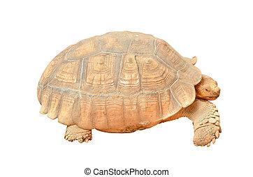 Giant Tortoise isolated Geochelone gigantea on white...