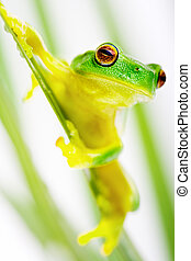 Green tree frog sitting on grass blade - Small green tree...