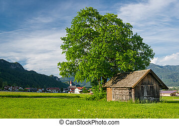 big lime tree with old wooden hut at meadow in rural village scene