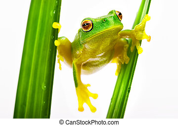 Green tree frog holding on grass