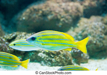 Lutjanus kasmira - Bluestripe snapper - saltwater fish...