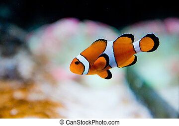 Amphiprion ocellaris -clownfish - Nemo - saltwater aquarium...