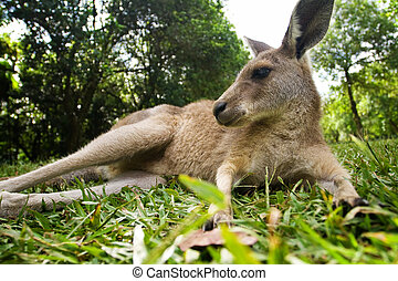 Young kangaroo lying down in the grass under trees