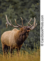Bull Elk Bugling - a big bull elk bugling during the fall...