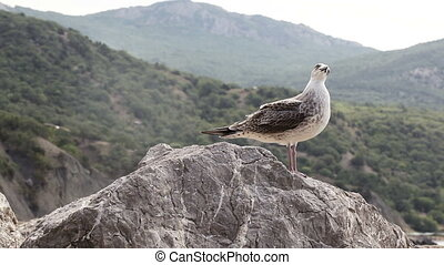 Seagull on stone - Seated on a rock gull flies