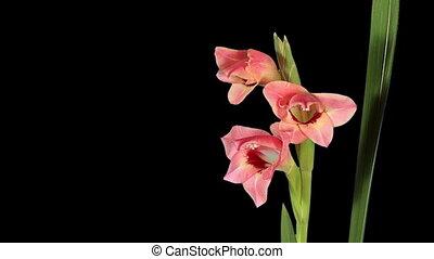Blooming pink gladiolus flower