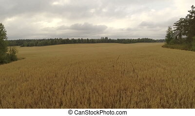 Aerial view of organic barley field - Camera flying over a...