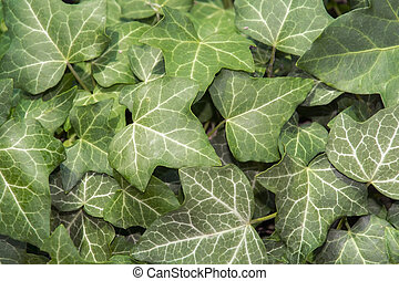 Ivy Hedera helix - European ivy Hedera helix leaves as green...