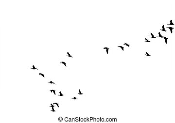 Flock of wild geese - The photograph of a isolated flock of...