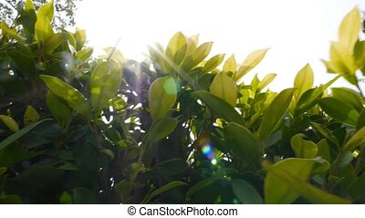 Sun Through the Green Leaves of Bushes. Slow Motion.