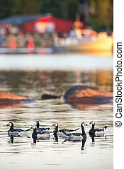 Canada goose swimming at a marina in sunset