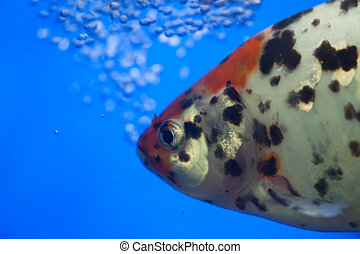 fish - the fish with air bubbles.