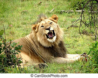 Lion - An adult male lion in the savanna of trees in a sunny...