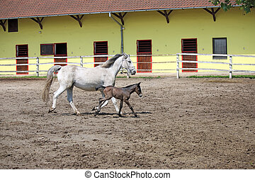 Lipizzaner horse and foal running