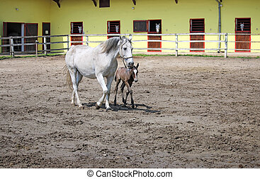 ranch with Lipizzaner horses