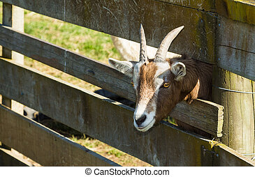 Goat Head - Goat putting his head through the wooden fence...