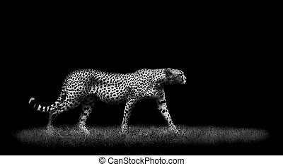 Cheetah - African cheetah walking in the wild